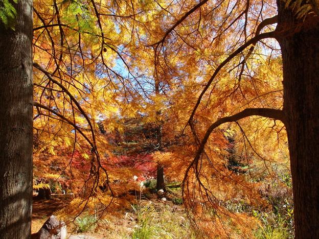 写真: 紅葉するメタセコイアの額縁