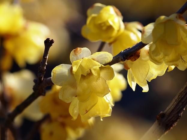 早春の蝋梅 *c