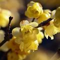 写真: 早春の蝋梅 *c