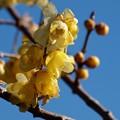 写真: 早春の蝋梅 *e