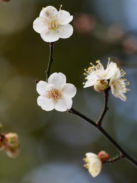 梅は咲いたか桜は未だかいな *c