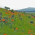 Photos: 小清水原生花園と斜里岳