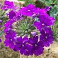 花てまり(2) H29,5,26