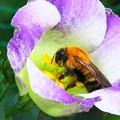 トルコキキョウにクマバチ H29,7,23