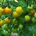 夕暮れのミニトマト(1) H29,7,26