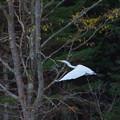 Photos: 白鷺6