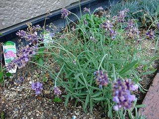 2009_0614庭の花0011