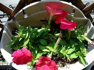 2009_0614庭の花0005