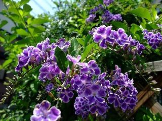 2009_0614庭の花0004