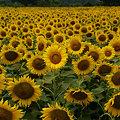 Photos: 夏、満開ですね!(090822)