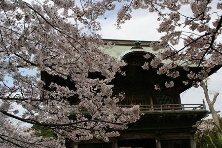 桜満開、称名寺の仁王門!(110410)