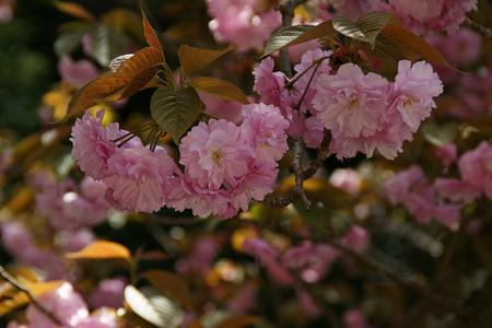 八重桜110417-856