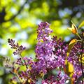 写真: 北国の春ライラック