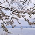 Photos: 琵琶湖の桜