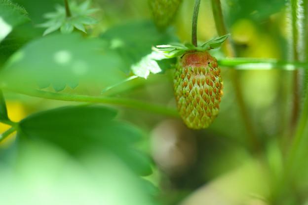 イチゴの赤ちゃん