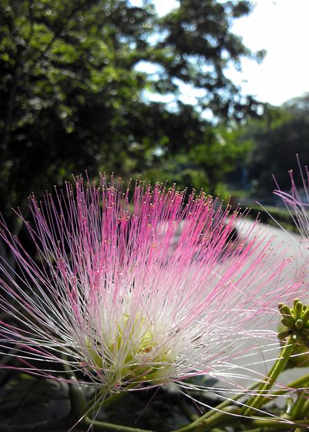 写真: ねんねの木の花(2012.6撮影)
