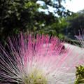 ねんねの木の花(2012.6撮影)
