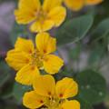ナスタチウム:金蓮花