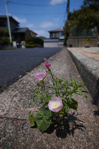 Photos: 頑張り屋さんの月見草!