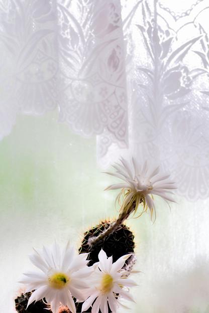 花盛丸の花:窓辺で