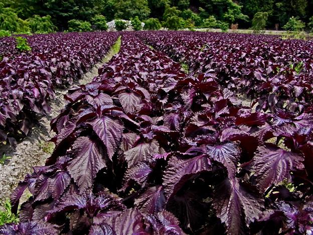 京都大原の紫蘇畑(蔵出し)