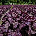 写真: 京都大原の紫蘇畑(蔵出し)