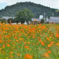Photos: 耳成山とキバナコスモス