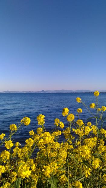 琵琶湖:近江富士と菜の花