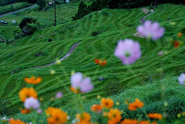写真: 丸山千枚田:コスモス揺れる棚田の秋