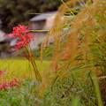 明日香:稲穂と彼岸花と水滴と