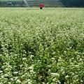 写真: 蕎麦畑:赤い傘とカメラマン