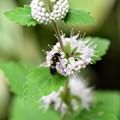 写真: 段菊とミツバチ