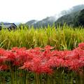 写真: 明日香:実りの秋・雨露に濡れて