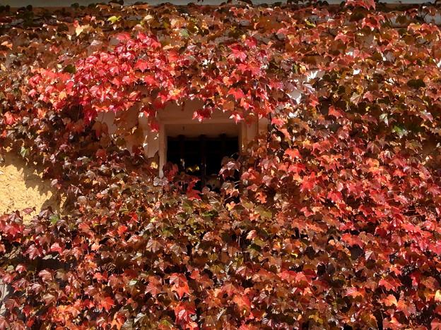 土蔵窓:蔦の紅葉【蔵出し】
