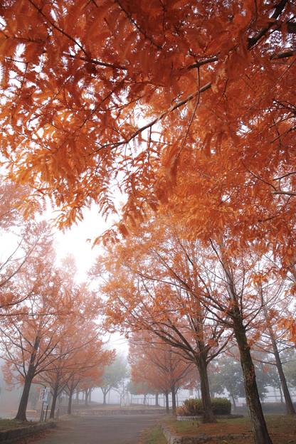 朝霧のメタセコイア並木