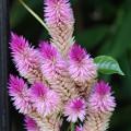 写真: 鶏頭の花