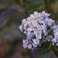写真: 十二月紫陽花