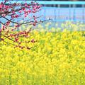 紅梅と菜の花