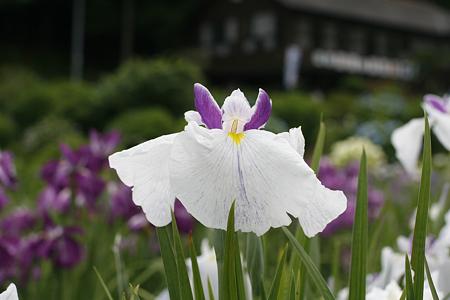 柳生花しょうぶ園 - 10
