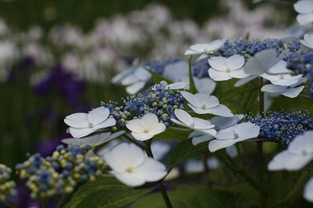 柳生花しょうぶ園 - 14