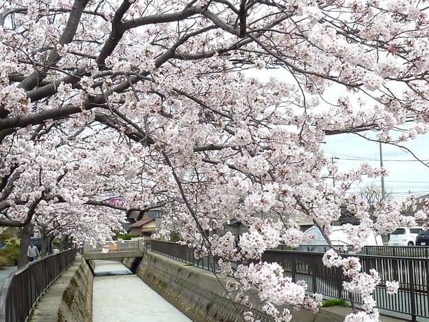 写真: 1f用水端桜満開