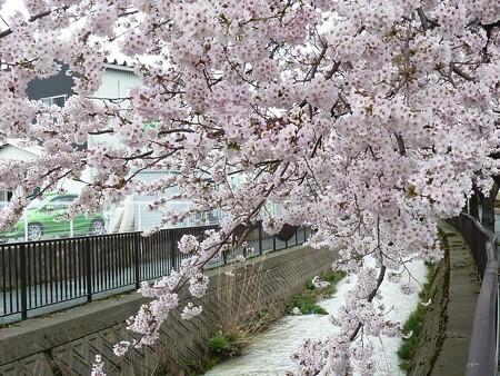 1g用水端桜満開