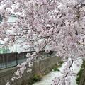 写真: 1g用水端桜満開