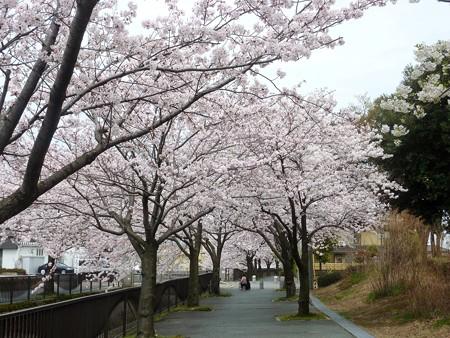 1h用水端桜満開