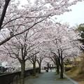 写真: 1h用水端桜満開