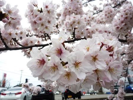 1i用水端桜満開