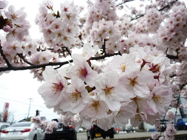 写真: 1i用水端桜満開