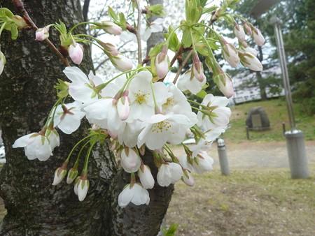 1o用水端桜満開