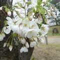 写真: 1o用水端桜満開