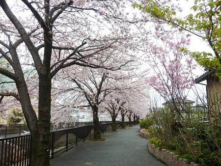 1p用水端桜満開